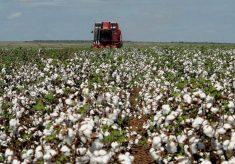 Área plantada de algodão diminui 41% após fim da isenção no ICMS